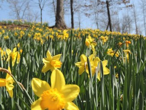 Landscapes By The Yard is wanting to see some Ohio daffodils.
